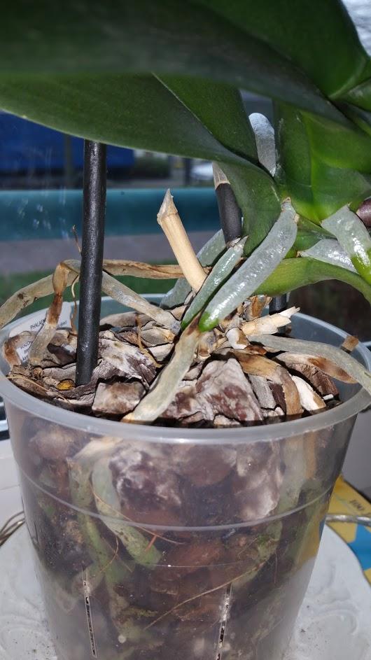 hilfeeeee meine neuen Knospen fallen ab Orchid10