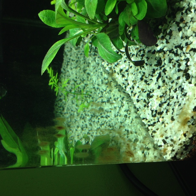 Algues brunes et algues filamenteuses Img_0017