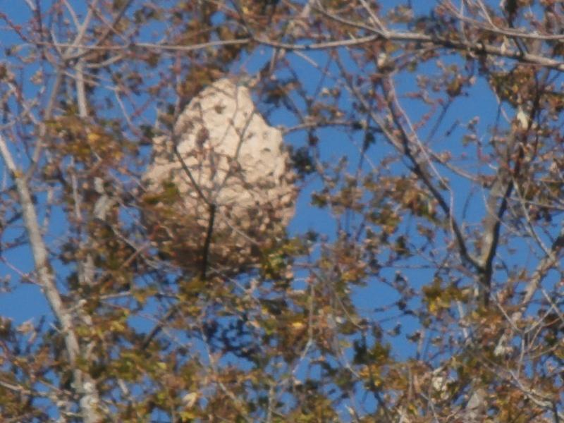 frelons asiatique Pa200210