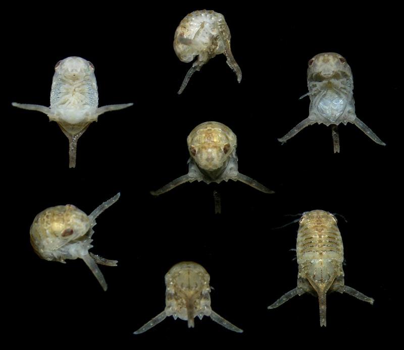 Isopode parasite ou pas? 38979410