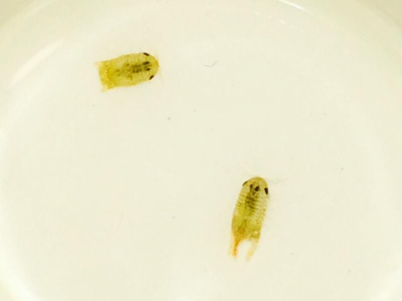 Isopode parasite ou pas? Isopod11