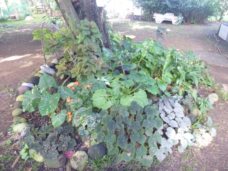 begonia à la Martinique P1000712