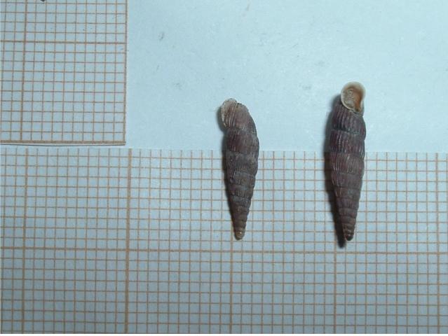 2 Clausilidae a determiner Borsec10
