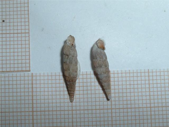 2 Clausilidae a determiner Borsec11