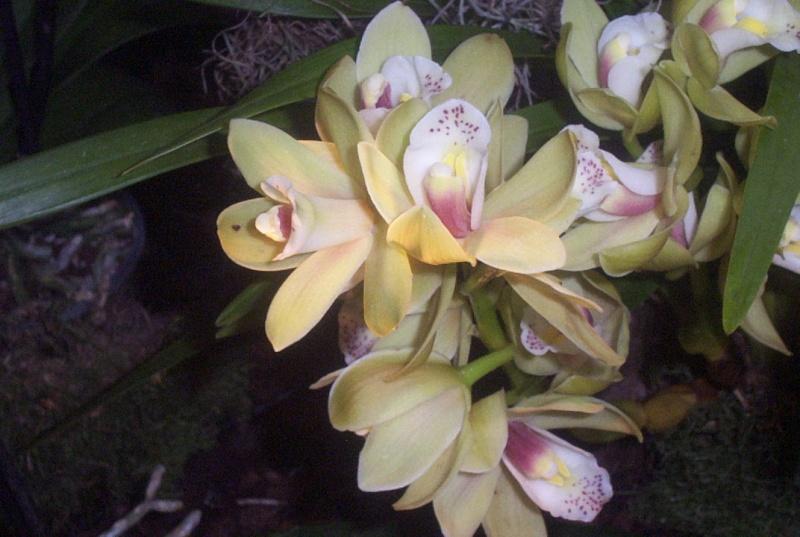 9. Orchideenausstellung Bingen am Rhein 00710