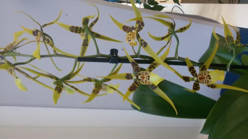 Ein Sekretariat voller Orchideen (ich hoffe, das ist hier der richtige Platz dafür) 20150110
