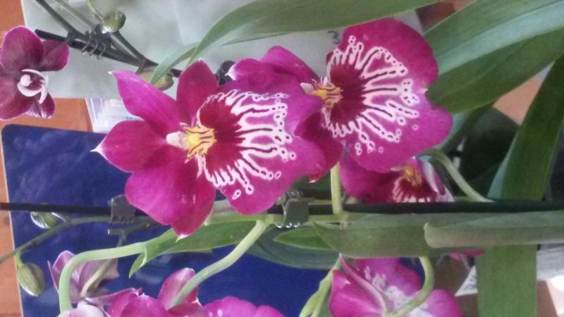 9. Orchideenausstellung Bingen am Rhein 20150312