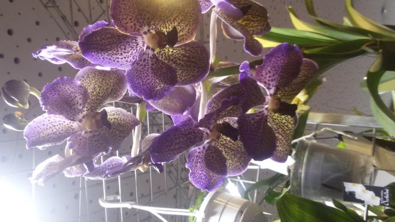 9. Orchideenausstellung Bingen am Rhein 20150313