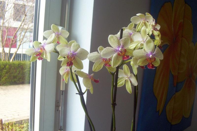 Ein Sekretariat voller Orchideen (ich hoffe, das ist hier der richtige Platz dafür) Seki610