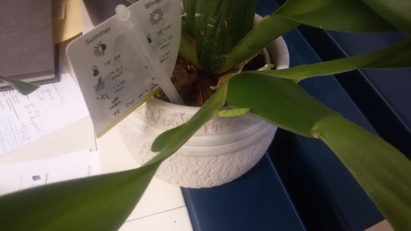 Ein Sekretariat voller Orchideen (ich hoffe, das ist hier der richtige Platz dafür) Sekidu10