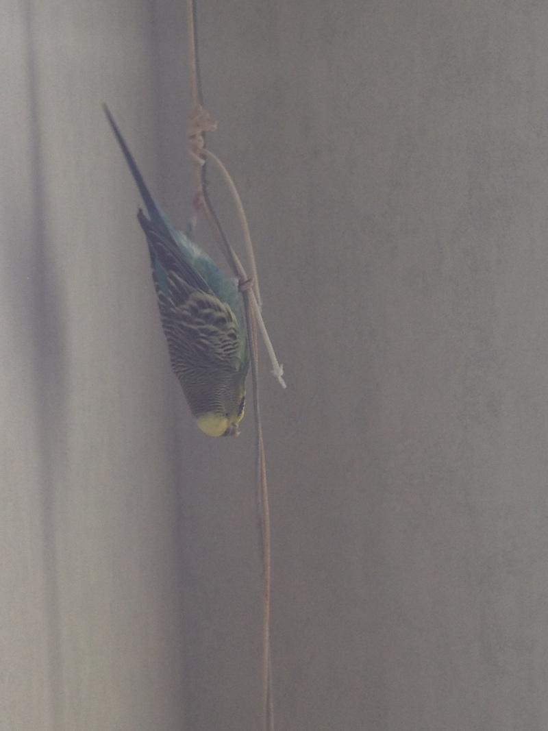 Perruches qui mangent le papier peint Img_3713
