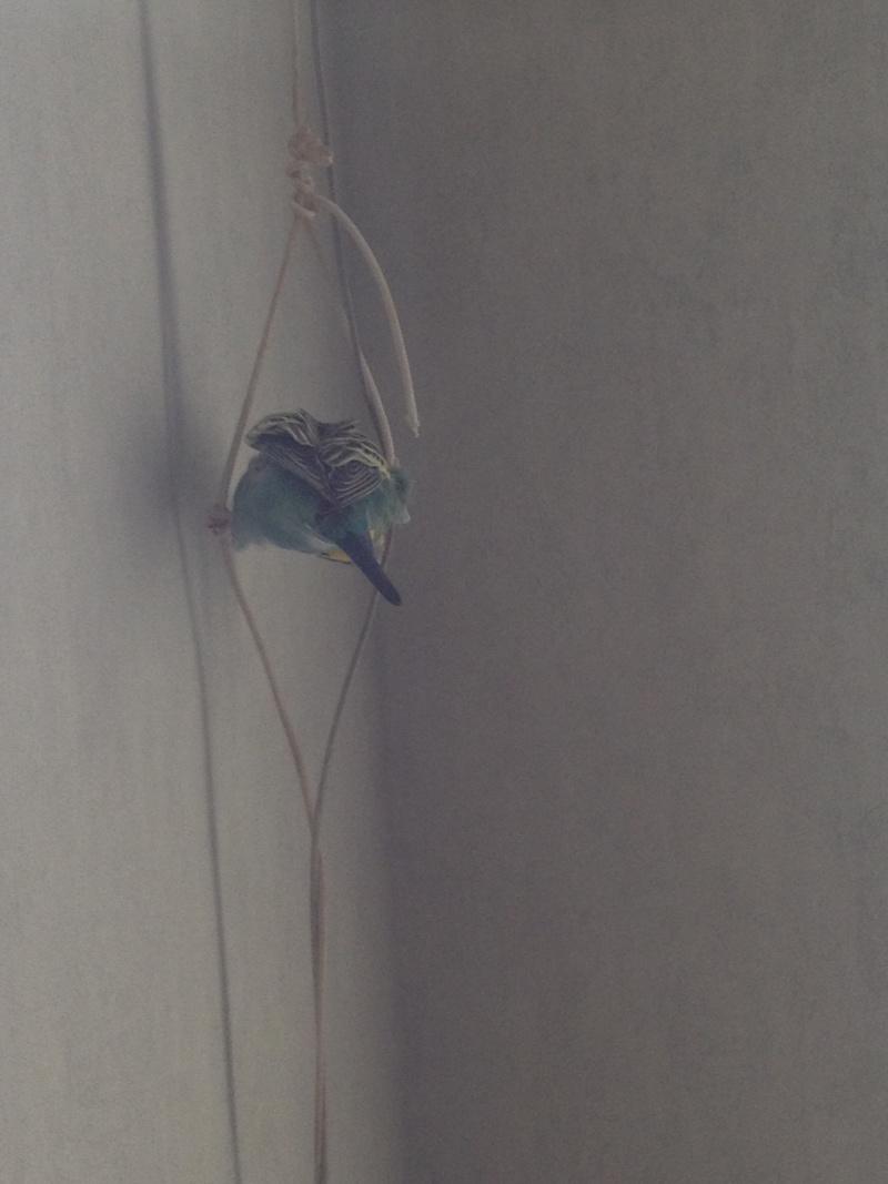Perruches qui mangent le papier peint Img_3715