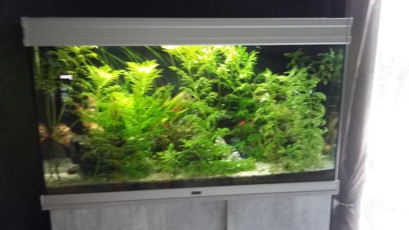 algues filandreuse aquarium eau douce 20151216