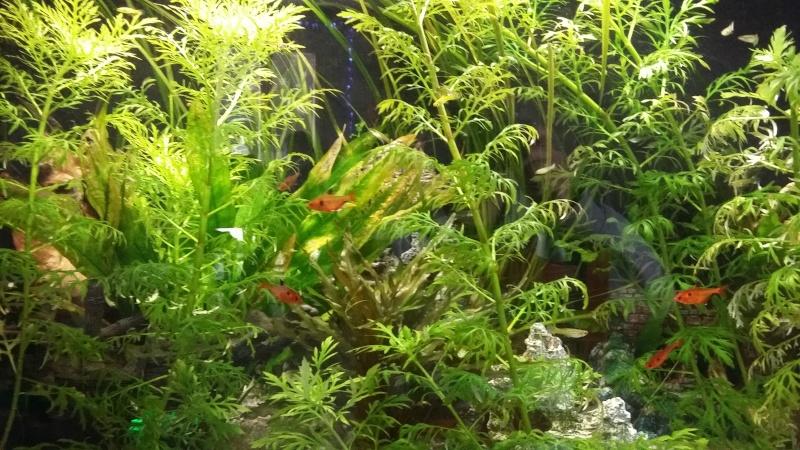algues filandreuse aquarium eau douce 20151217