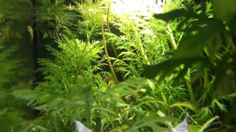 algues filandreuse aquarium eau douce 20151218