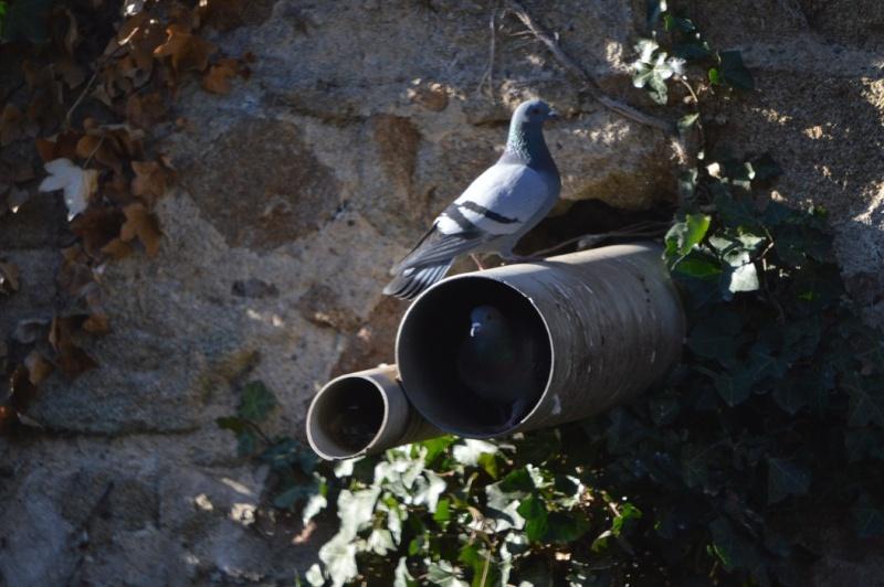 Les pigeons jouent à cache-cache 1010