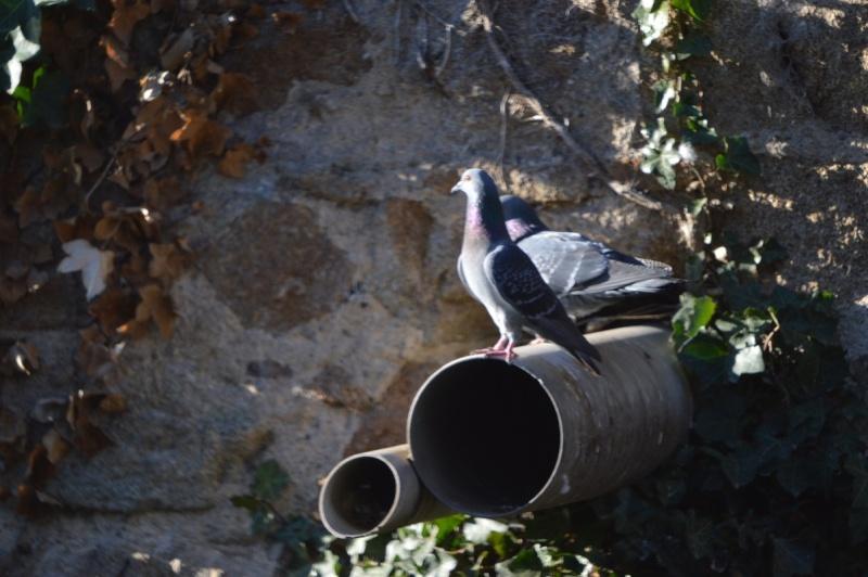 Les pigeons jouent à cache-cache 110