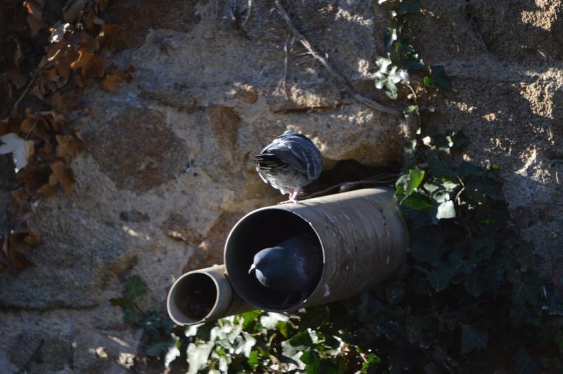 Les pigeons jouent à cache-cache 1110