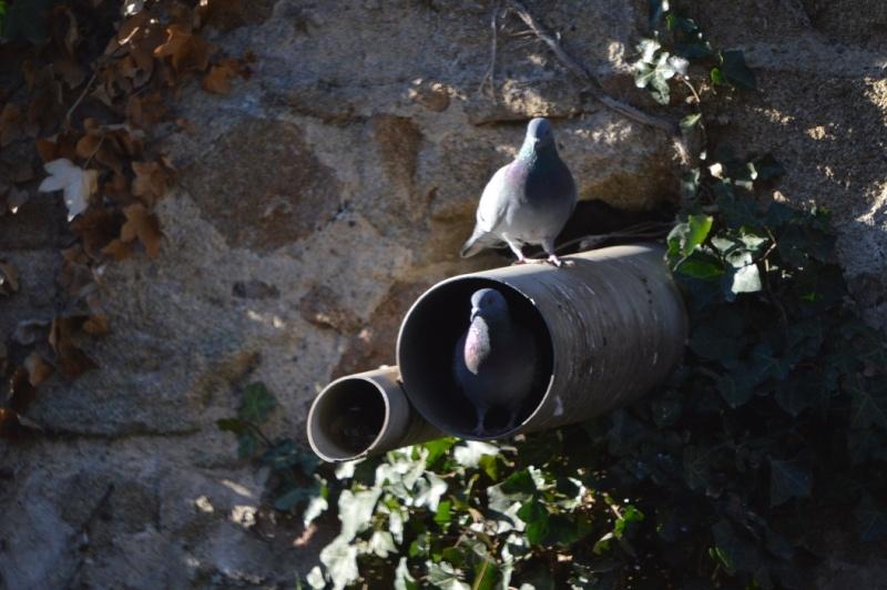 Les pigeons jouent à cache-cache 1310