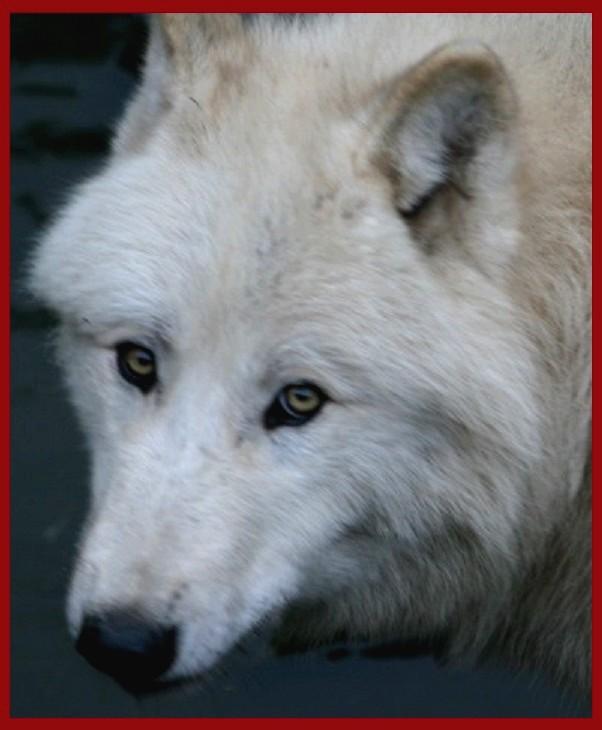 les loups d'amneville 1471010