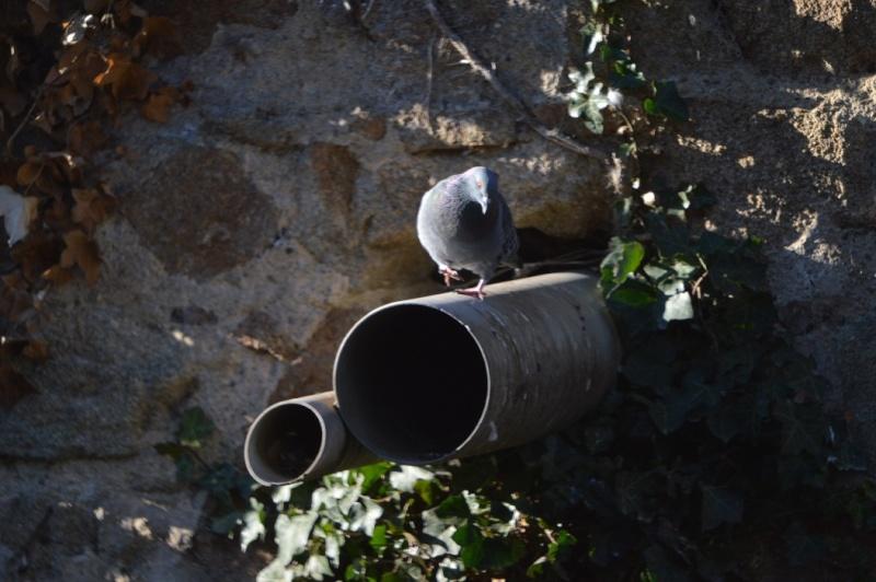 Les pigeons jouent à cache-cache 311