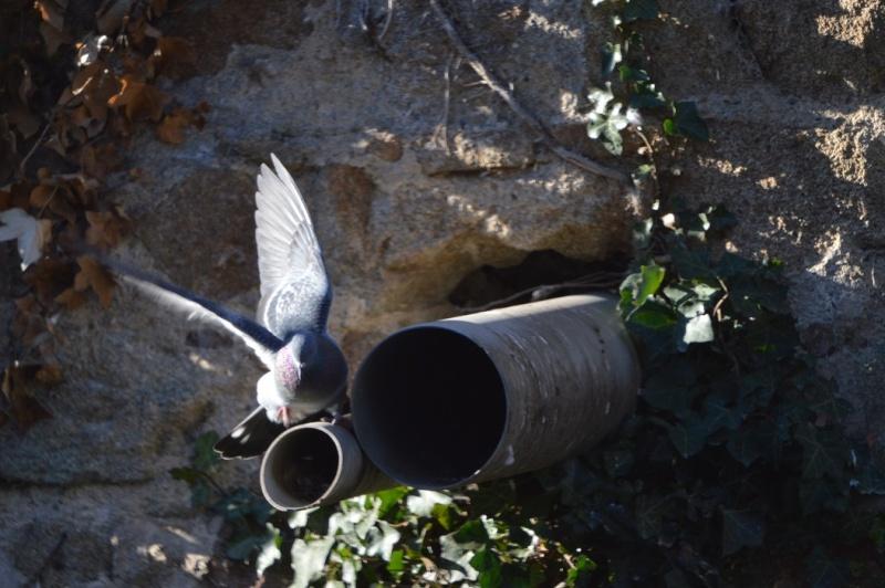 Les pigeons jouent à cache-cache 511