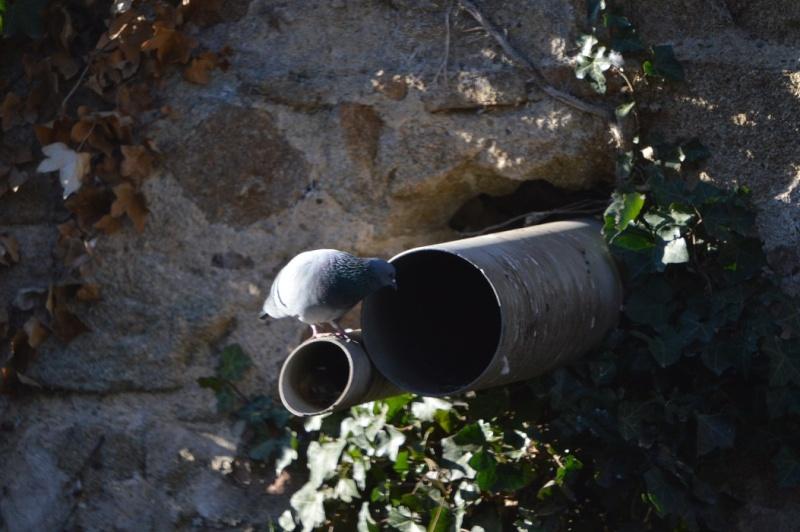 Les pigeons jouent à cache-cache 810