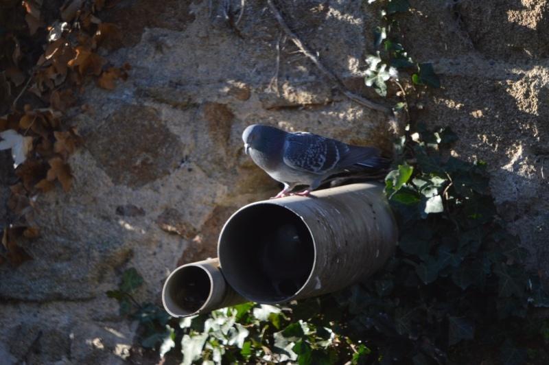 Les pigeons jouent à cache-cache 910