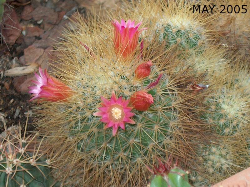 flowering vs growing Mammil10