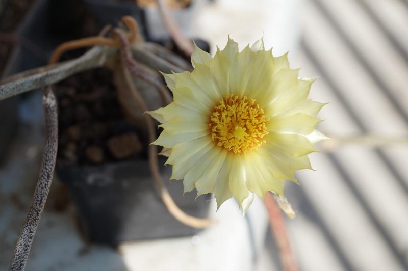 Blütenbilder von Astrophytum caput medusae - Seite 2 Dsc02211