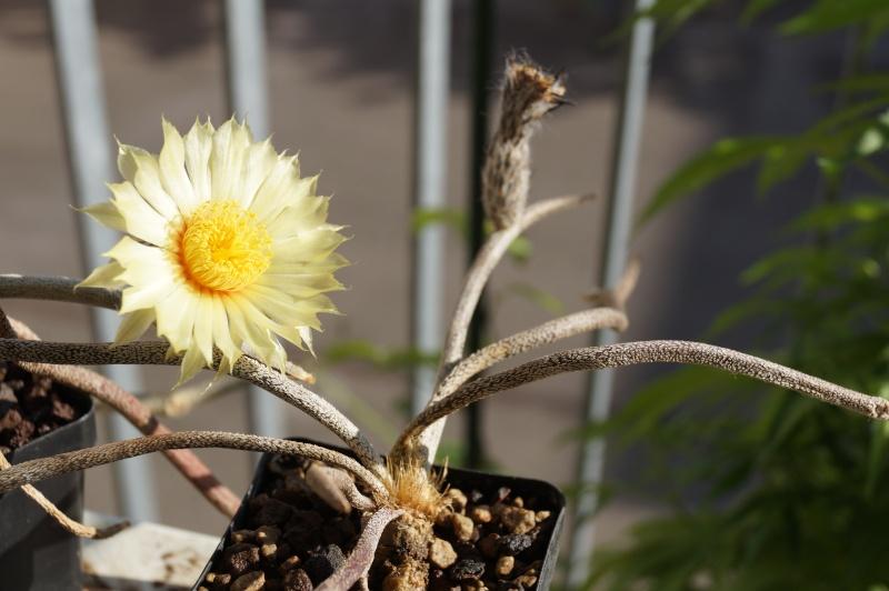 Blütenbilder von Astrophytum caput medusae - Seite 2 Dsc02215