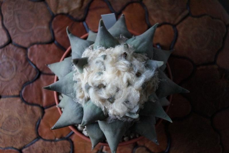 Ariocarpus confusus  Dsc02611