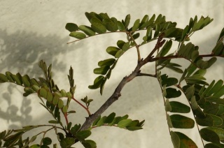 Mimosengewächse (Mimosoideae) Dsc02611