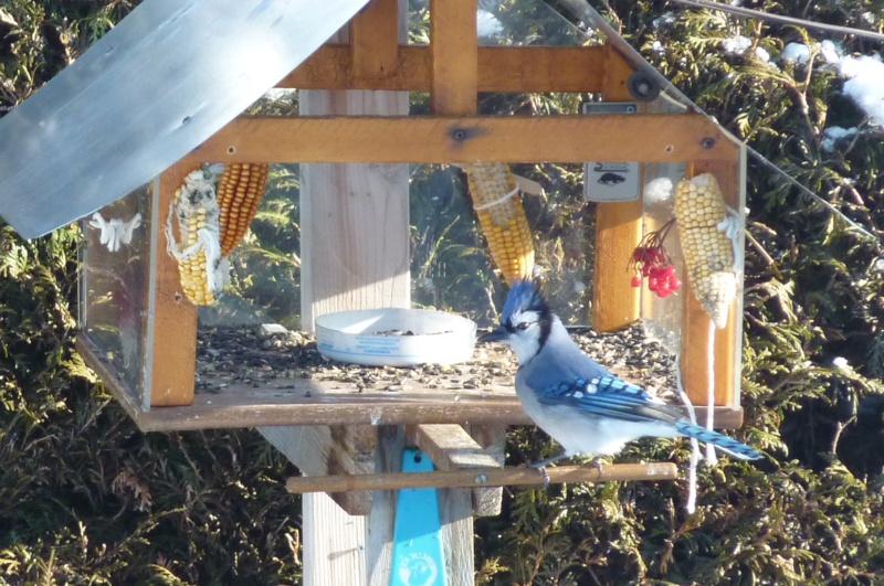 Papa Geai Bleu   ( Je croie !  ) P1000627