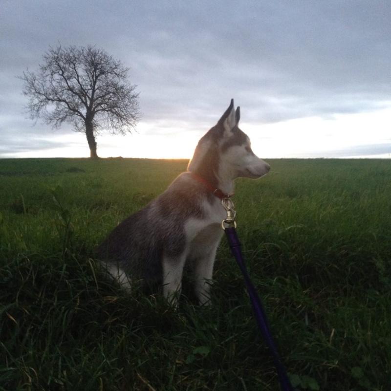 Laska-Moon, ma folie-douce (husky sibérien) 12270511