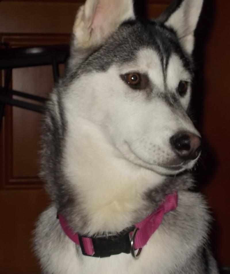 Laska-Moon, ma folie-douce (husky sibérien) Las_414