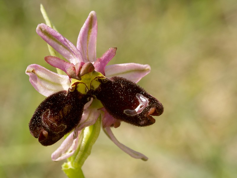 Ophrys drumana  P5172310
