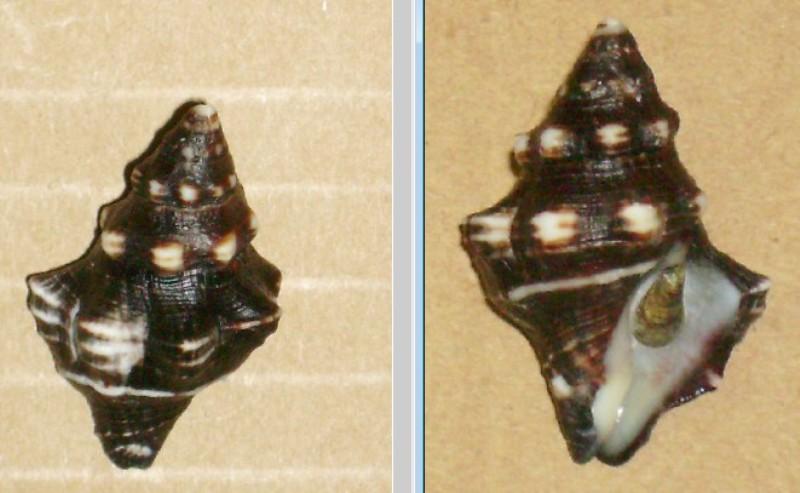 Leucozonia nassa - (Gmelin, 1791) Leucoz10
