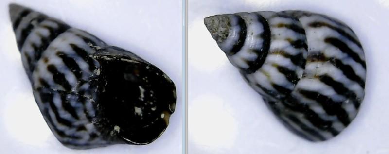 Echinolittorina angustior - (Mörch, 1876)  Litto_10