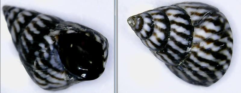 Echinolittorina angustior - (Mörch, 1876)  Litto_11