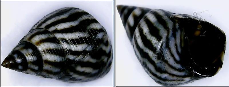 Echinolittorina angustior - (Mörch, 1876)  Littor11