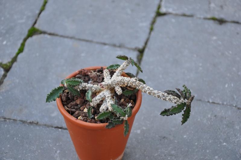 euphorbia ambovombensis Dsc_0025