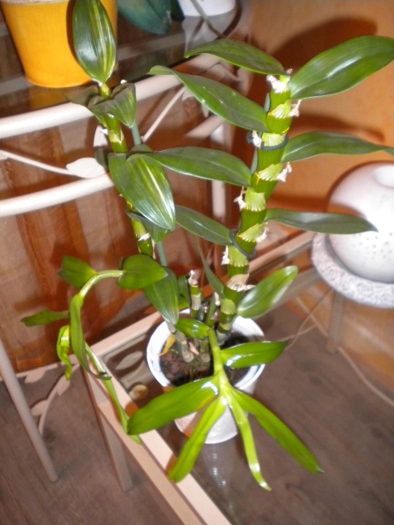 mon Dendrobium Drendo18