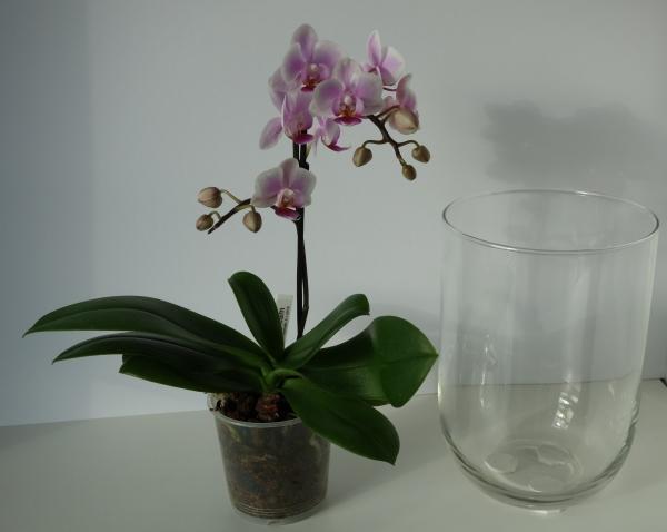 Orchideen in Glasvasen 4 (SGK) - Seite 16 Phalae13