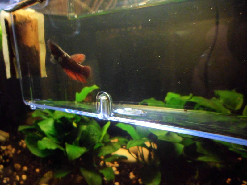 Betta sauteur Sam_1310