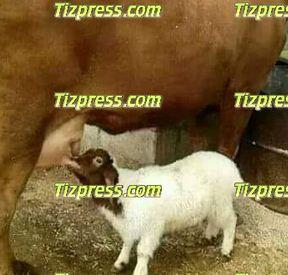 Une vache accouche d'un mouton a Tiznit Captur10