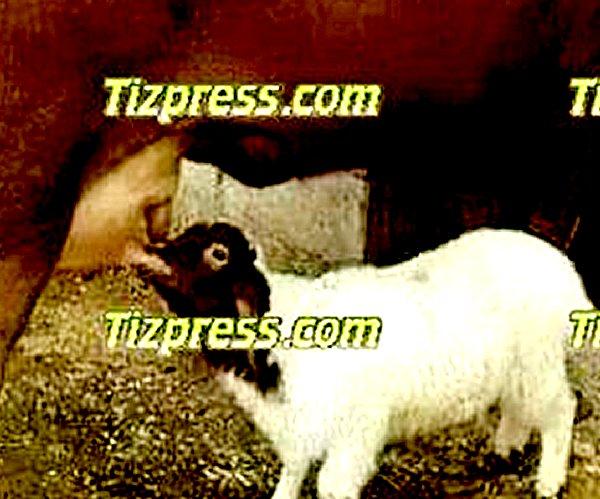 Une vache accouche d'un mouton a Tiznit Mouton10