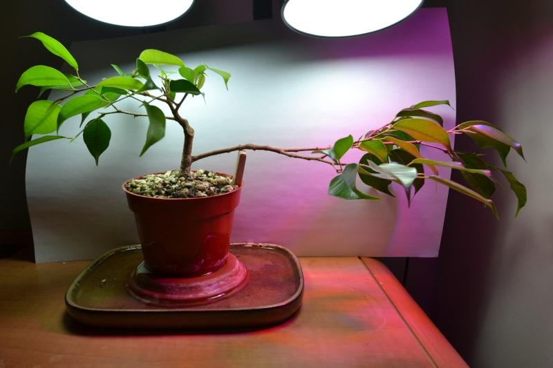 Indoor Bonsai under LED lights. - Page 14 Dsc_0311