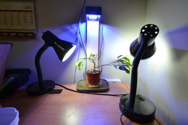 Indoor Bonsai under LED lights. - Page 14 Dsc_0313