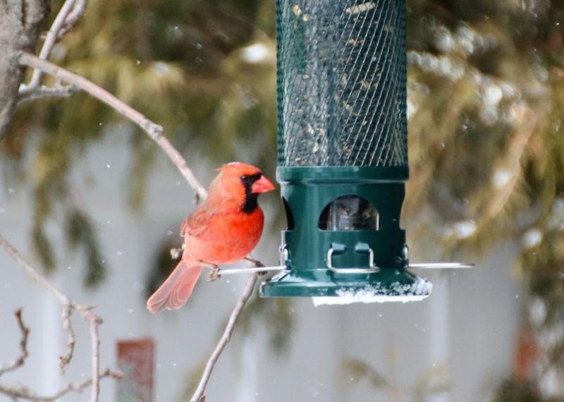 Cardinal rouge testant ma nouvelle mangeoire Cardin12
